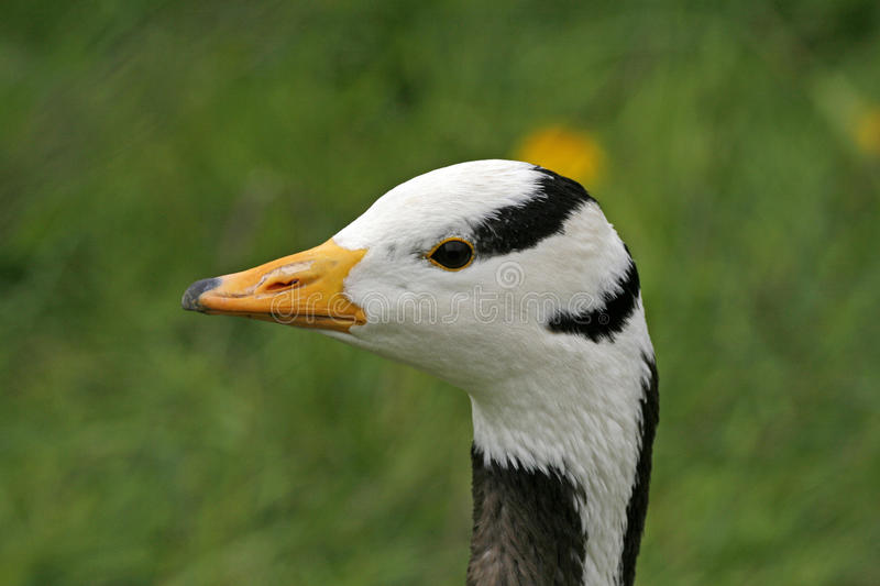 Download Bar-headed Goose, Anser Indicus Royalty Free Stock Images - Image: 12402409