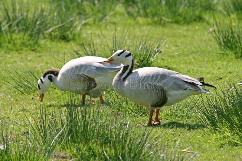 The Bar-headed Goose (Anser indicus) royalty free stock photos