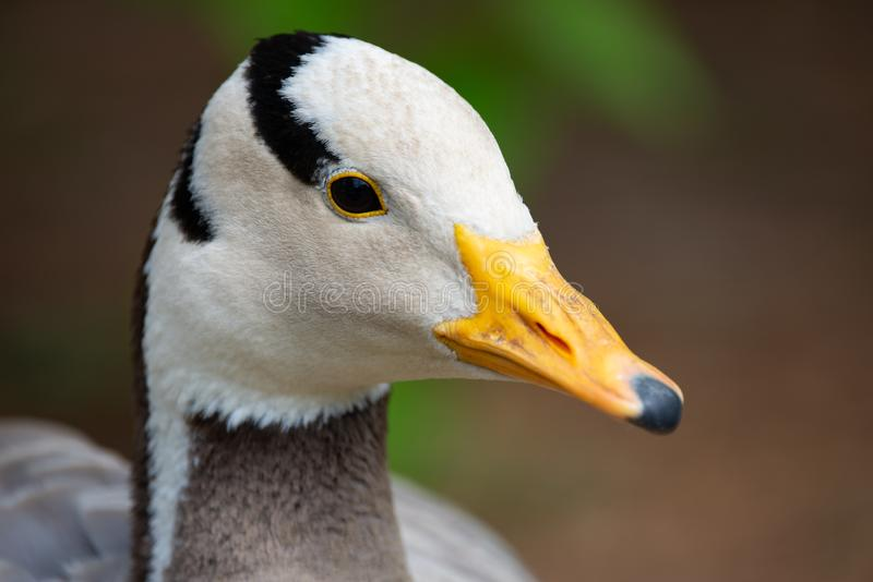 Bar-headed goose Anser Indicus, portrayed in a national park. Close-up of a Bar-headed goose Anser Indicus, portrayed in a natural park, an animal indigenous to royalty free stock image