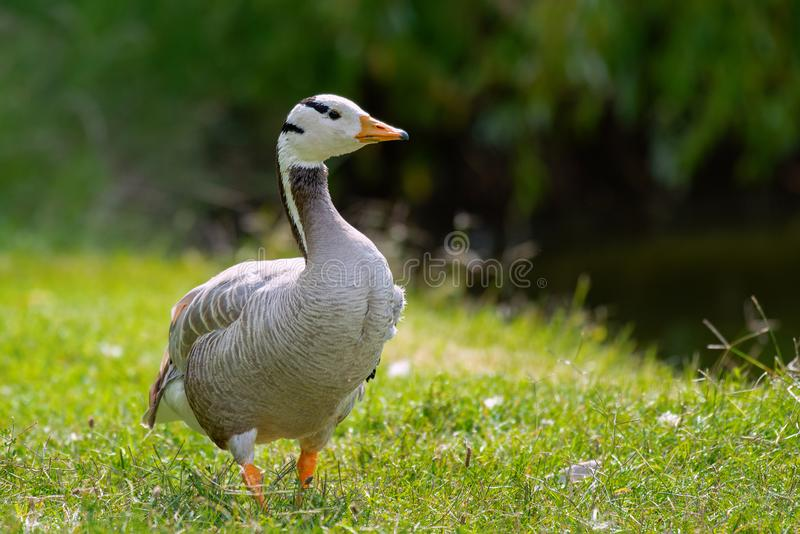 Bar-headed goose, Anser indicus, single bird on the grass.  royalty free stock photo