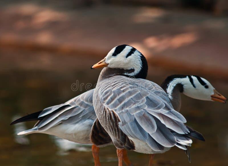 Bar-headed Goose stock photo
