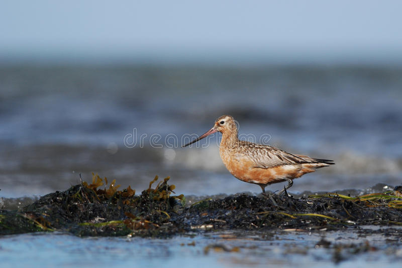 Bar-tailed Godwit. And the seaweed royalty free stock images