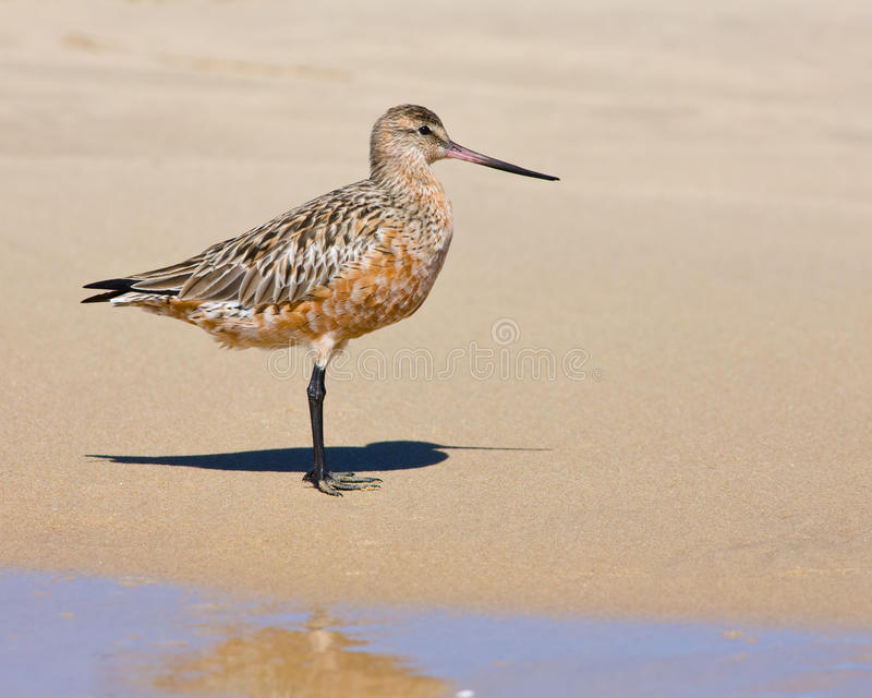 Bar-tailed Godwit Limosa lapponica. Bar-tailed Godwit portrait in breeding plumage royalty free stock photos
