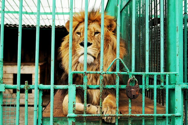 Bara är lejonet bak stängerna i en bur på zoo royaltyfria bilder