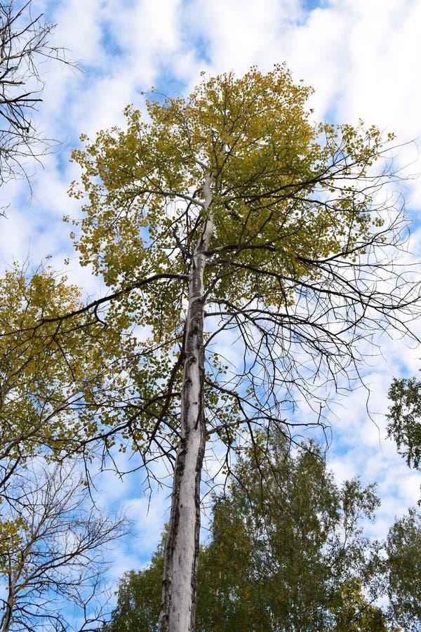 Bara träd i skog med klar molnig himmelbakgrund royaltyfri foto