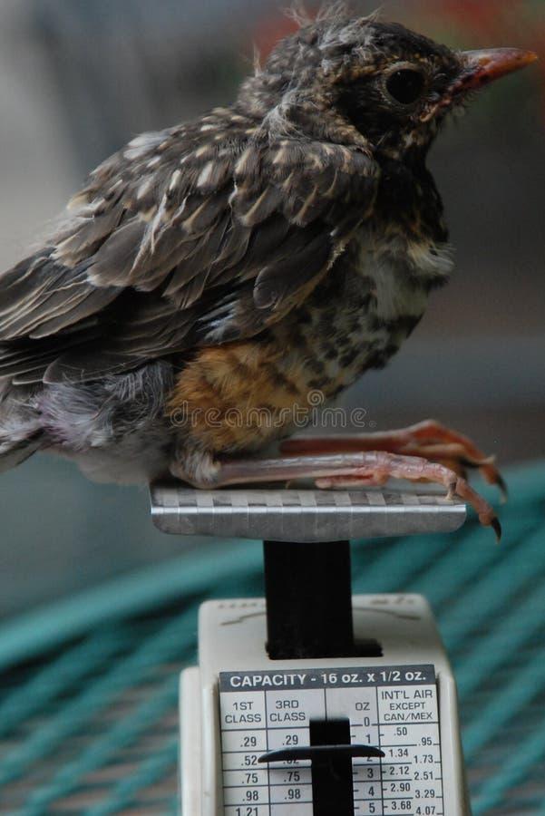 Barak ` ν Robin: μωρό Robin στην ταχυδρομική κλίμακα στοκ εικόνα