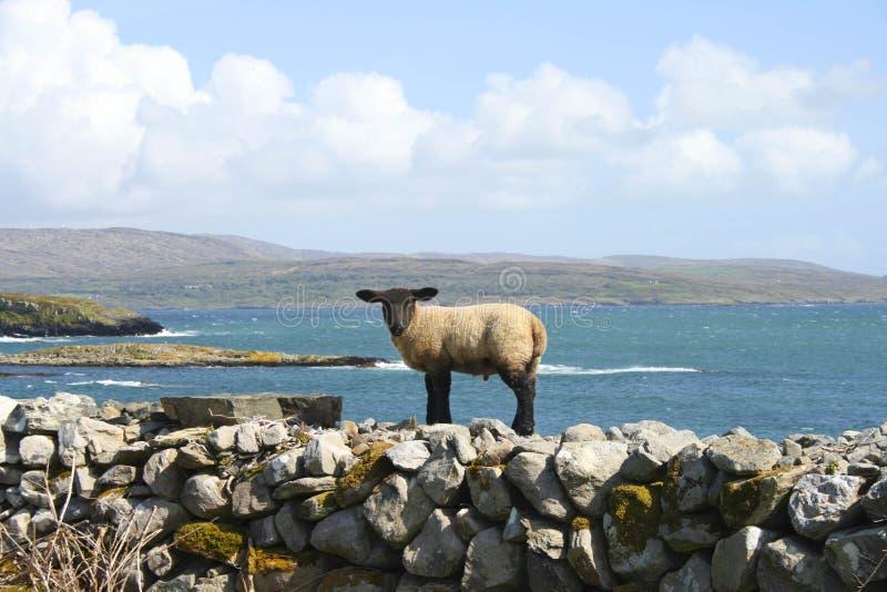 Download Baranek obraz stock. Obraz złożonej z zatoka, sheepfold - 28954273