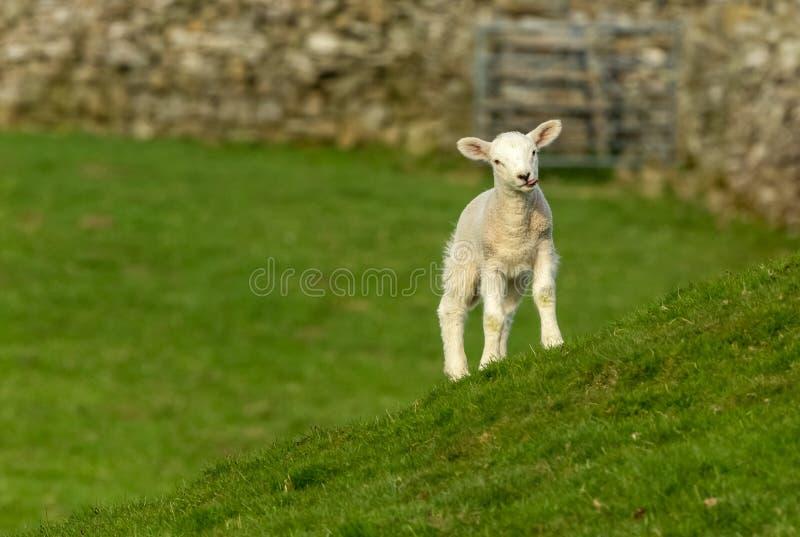 Baranek w Yorkshire dolinach szturcha za jej jęzorze fotografia royalty free
