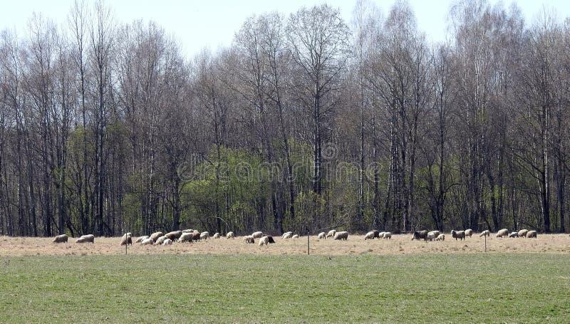 Barani gang w łące, Lithuania zdjęcie royalty free