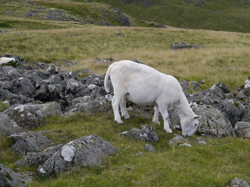 Barani pasanie wśród ciężkich skał obrazy royalty free