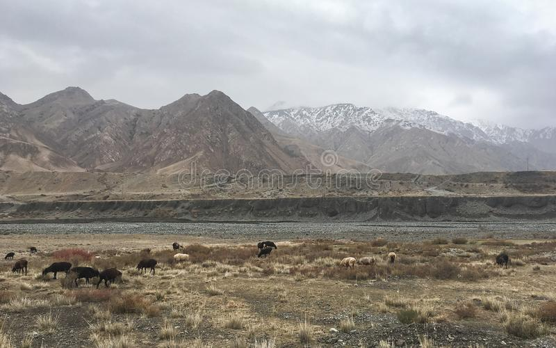 Barani pasanie w górach, Xinjiang prowincja Chiny zdjęcie royalty free