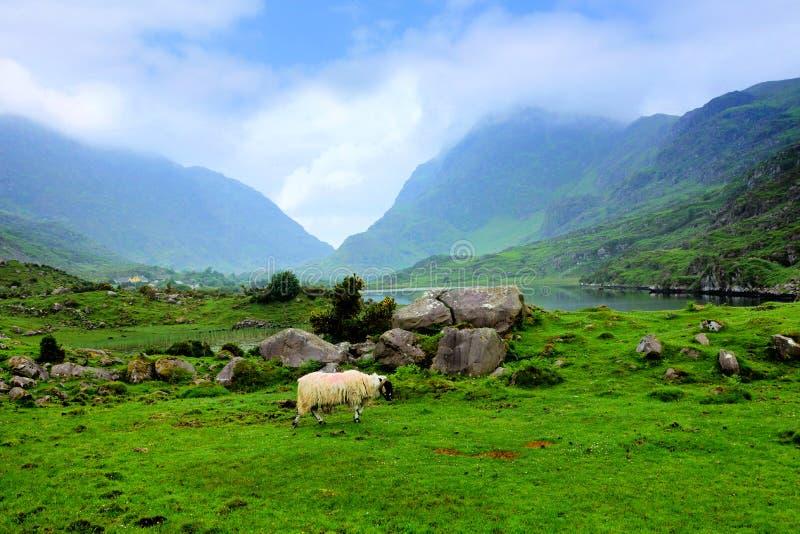 Barani pasanie w Gap Dunloe halna dolina, pierścionek Kerry, Irlandia obrazy stock