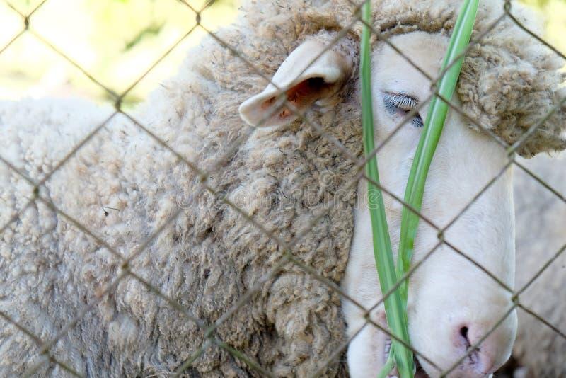 Barani pasanie  w gospodarstwie rolnym zdjęcia stock