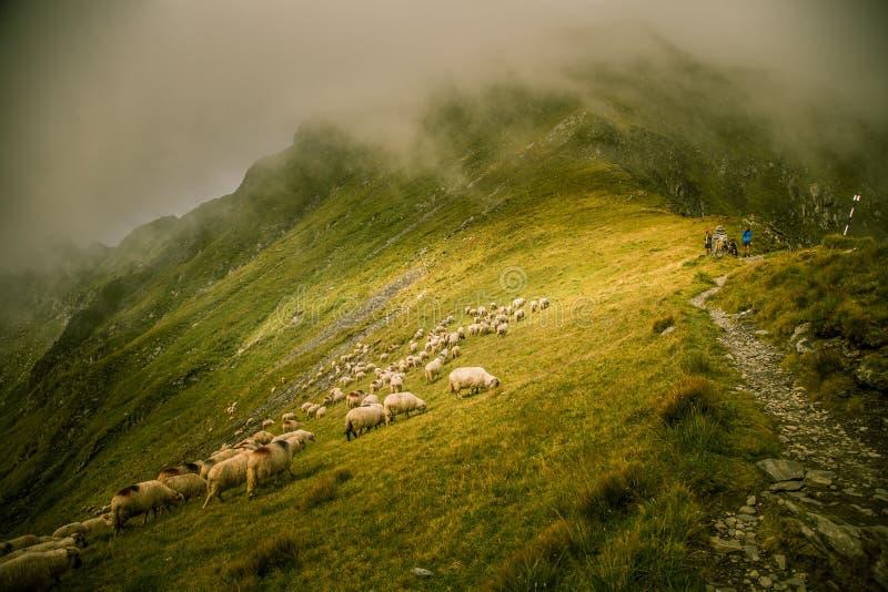 Barani pasanie w Karpackich górach fotografia stock