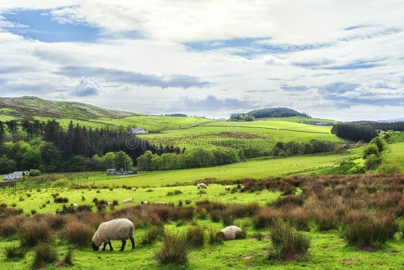 Barani pasanie w polach w Kintyre w średniogórzach Szkocja zdjęcie stock