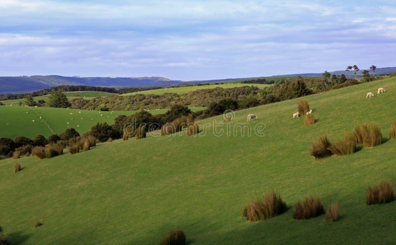 Barani pasanie wzdłuż tocznych wzgórzy zdjęcie royalty free
