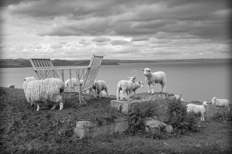 Barani pastwiskowy Cornwall fotografia stock