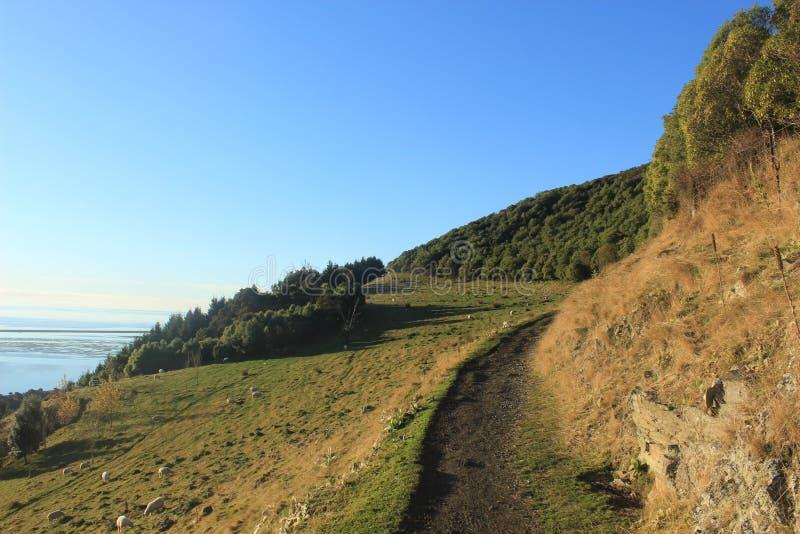 Barani pastwiskowy outside Nelson Nowa Zelandia zdjęcie stock