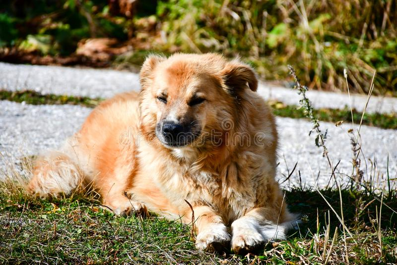 Barani pies obrazy stock