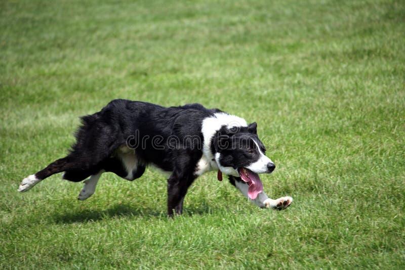 Barani pies lub Border Collie także znać jako Szkocki Sheepdog z wyróżniającym czarny i biały żakietem, biega nad trawą przy pręd zdjęcie royalty free