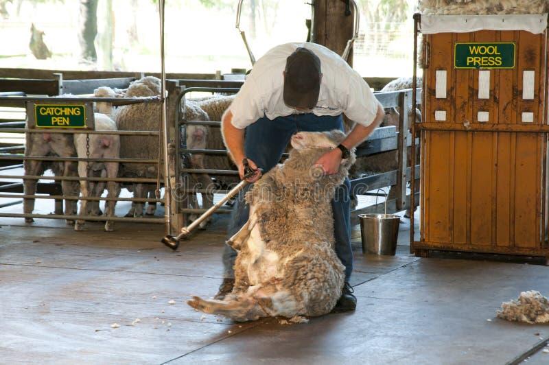 Barani Shearing obrazy royalty free