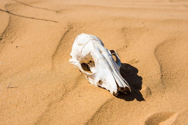Barania czaszka w piaska zakończeniu fotografia stock