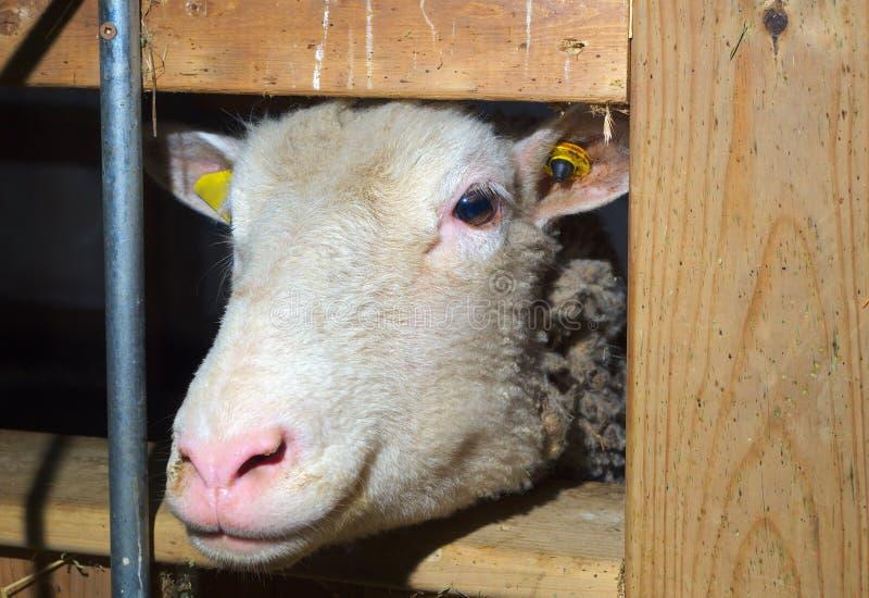 Barania ssak głowy zbliżenia zwierzęta gospodarskie bydlęcia rolnictwa twarz obrazy stock