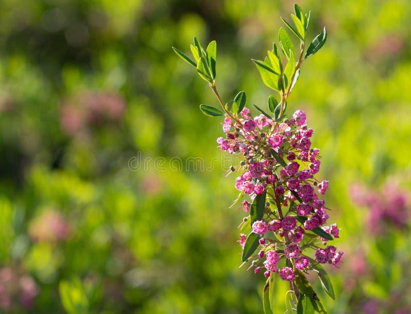 Baraniego bobka menchii kwiat w lecie obrazy royalty free
