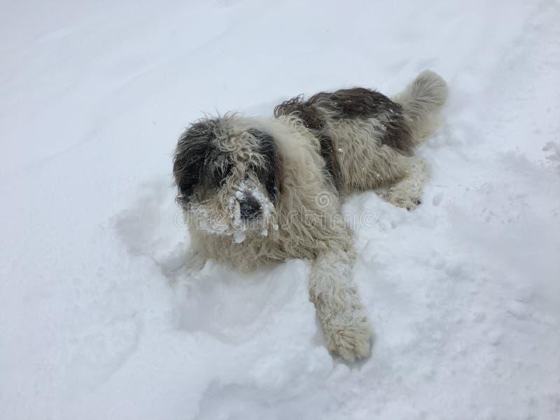 Baraniego psa obsiadanie w śniegu zdjęcie stock
