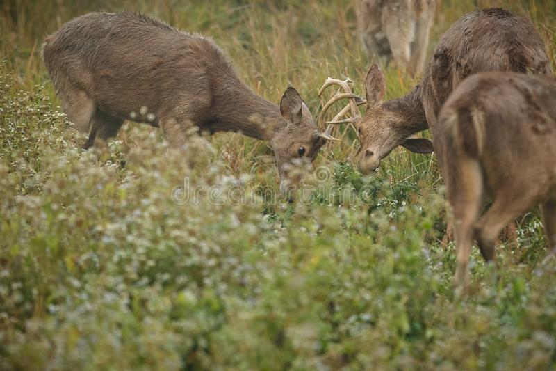 Barasinga deers fighting on the grassland of Kaziranga in Assam royalty free stock photo