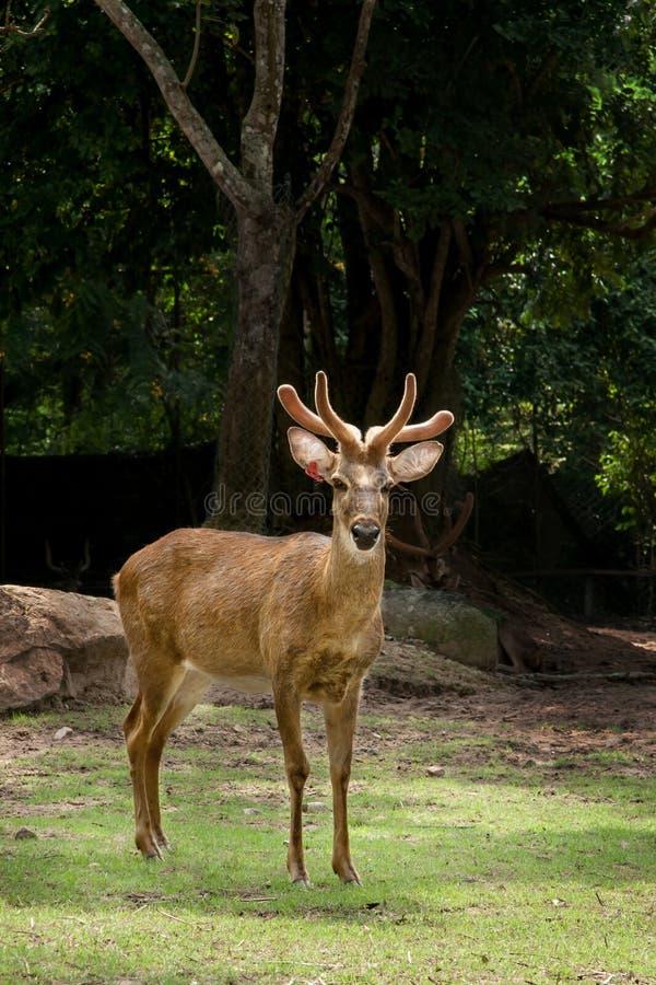 Download Barasingha или олени в открытом зоопарке Стоковое Изображение - изображение насчитывающей environment, antlers: 41656435