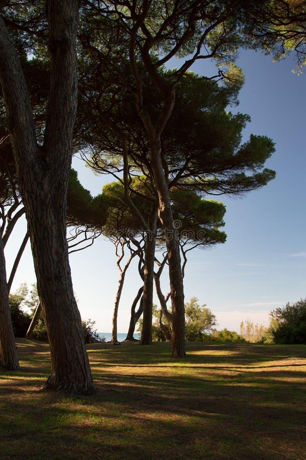 Baratti-Bäume stockbilder