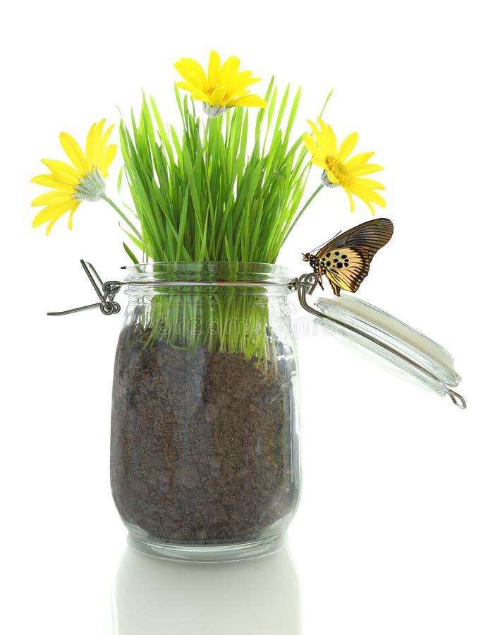 Barattolo di vetro con suolo, erba con i fiori e farfalla immagini stock libere da diritti