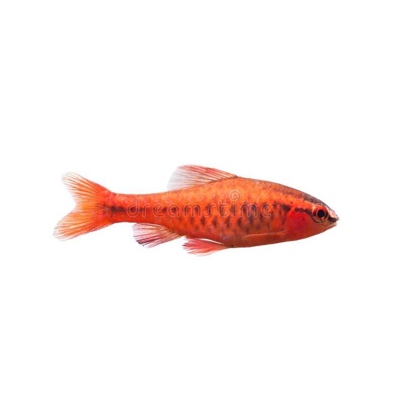 Barb κερασιών αρσενικά ψάρια στο λευκό Τροπικό του γλυκού νερού titteya Puntius ενυδρείων που ανήκει οικογενειακά Cyprinidae στοκ εικόνες με δικαίωμα ελεύθερης χρήσης