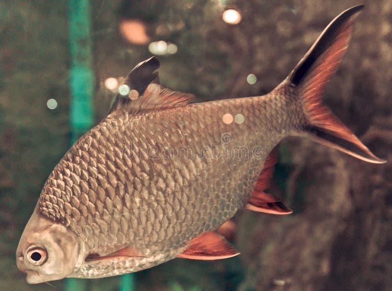 Barb κόκκινος-ουρών tinfoil στοκ εικόνα με δικαίωμα ελεύθερης χρήσης