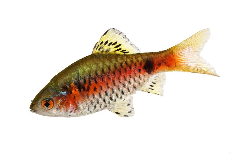 Barb της Οδησσός του γλυκού νερού ψάρια ενυδρείων padamya Pethia στοκ φωτογραφίες με δικαίωμα ελεύθερης χρήσης
