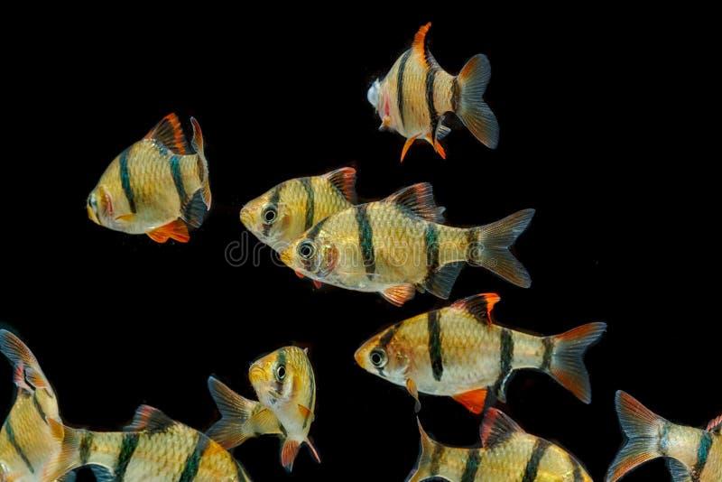 Barb τιγρών ενυδρείων fishThe ψάρια, barb sumatra στοκ φωτογραφίες με δικαίωμα ελεύθερης χρήσης