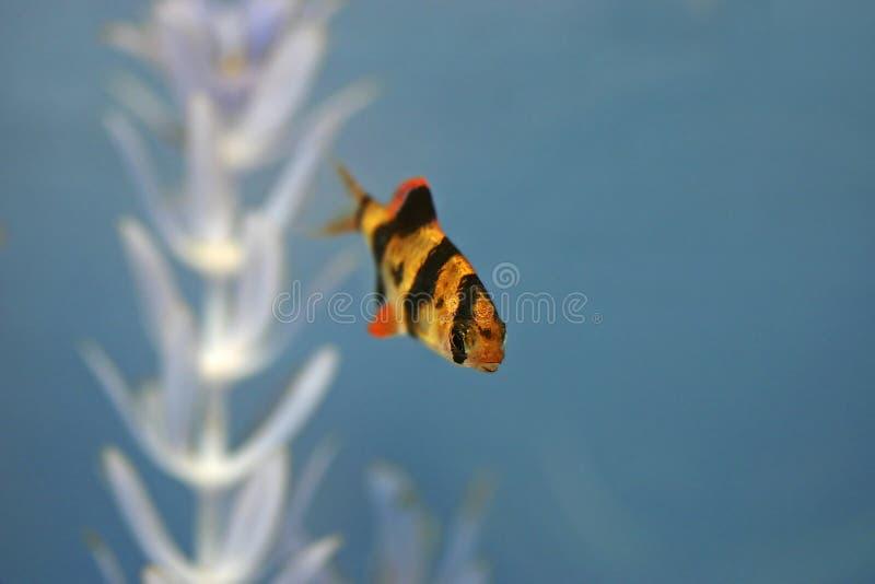 barb aqaurium τίγρη ψαριών στοκ φωτογραφία με δικαίωμα ελεύθερης χρήσης