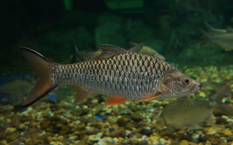 Barb fish. Swimming in aquarium stock images