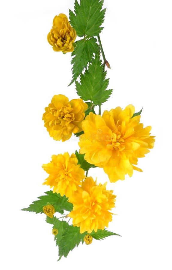 Barb of Kerria japonica flowering stock image
