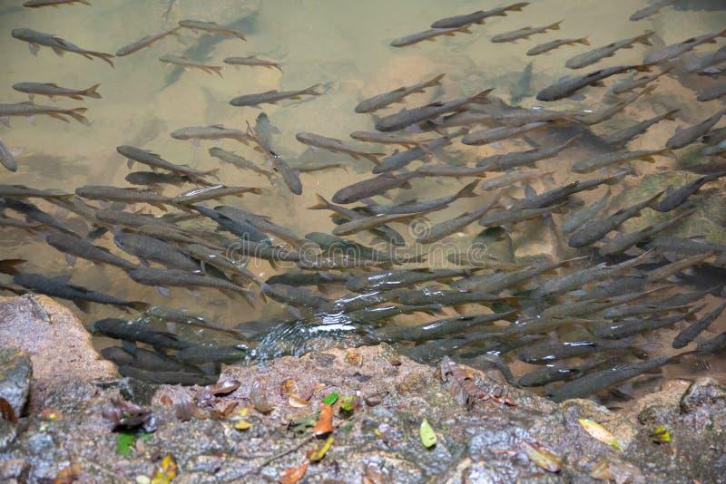 Barb Mahseer ψάρια στα ρηχά νερά από τον καταρράκτη με τους βράχους γύρω στοκ εικόνα