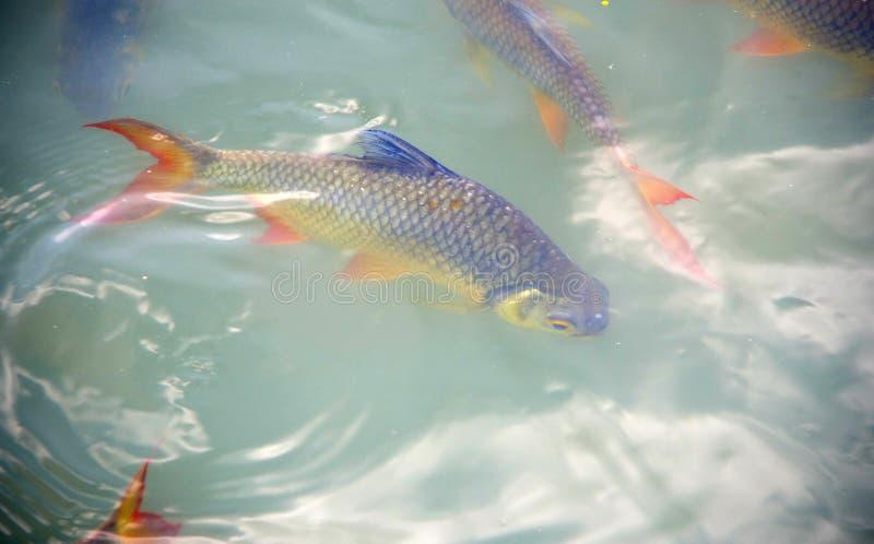 Barb Schwanenfeld's tinfoil ψάρια στο κανάλι Κόκκινος κυπρίνος s ουρών στοκ εικόνες με δικαίωμα ελεύθερης χρήσης