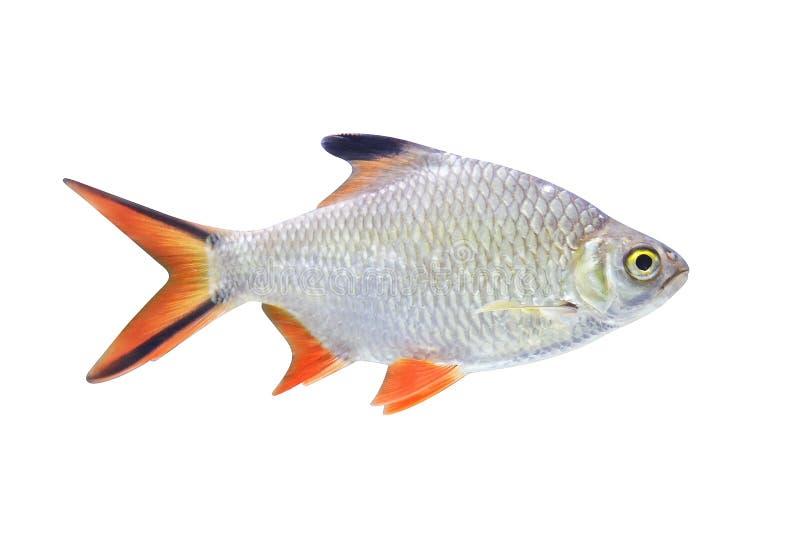 Barb Schwanenfeld tinfoil ψάρια που απομονώνονται στο άσπρο υπόβαθρο στοκ φωτογραφίες