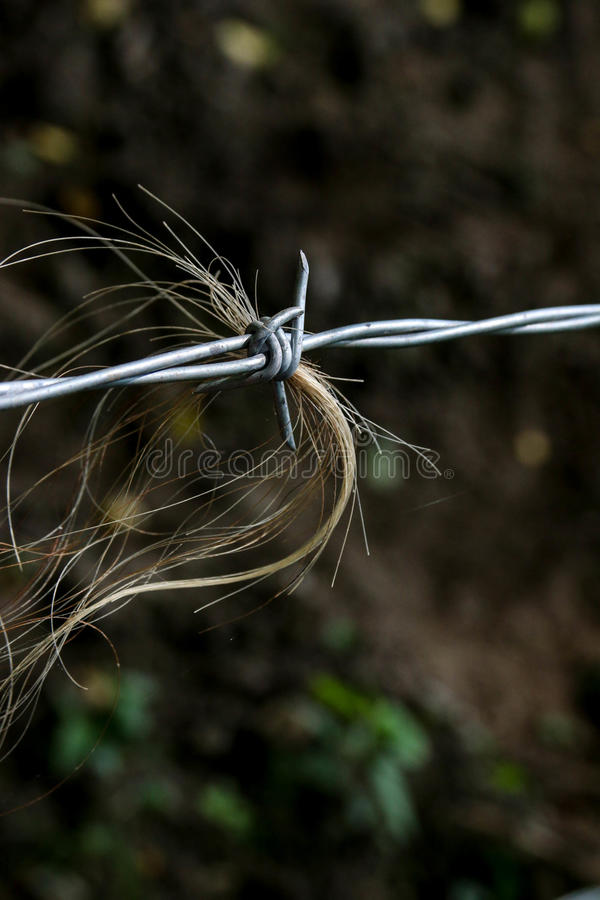Barb wire fence with Hereford Cattle Hair. This barb wire fence has done the job intended. The strand of Hereford Cattle Hair remains royalty free stock photo