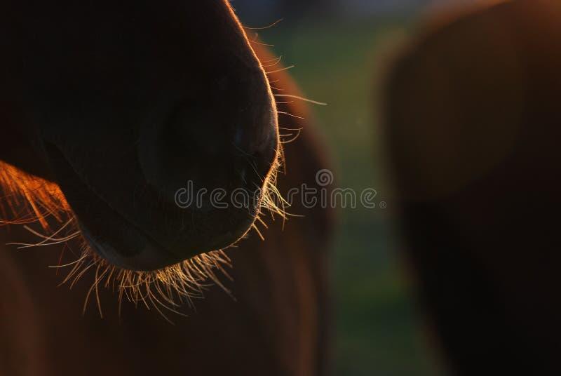 Barba del caballo imagen de archivo