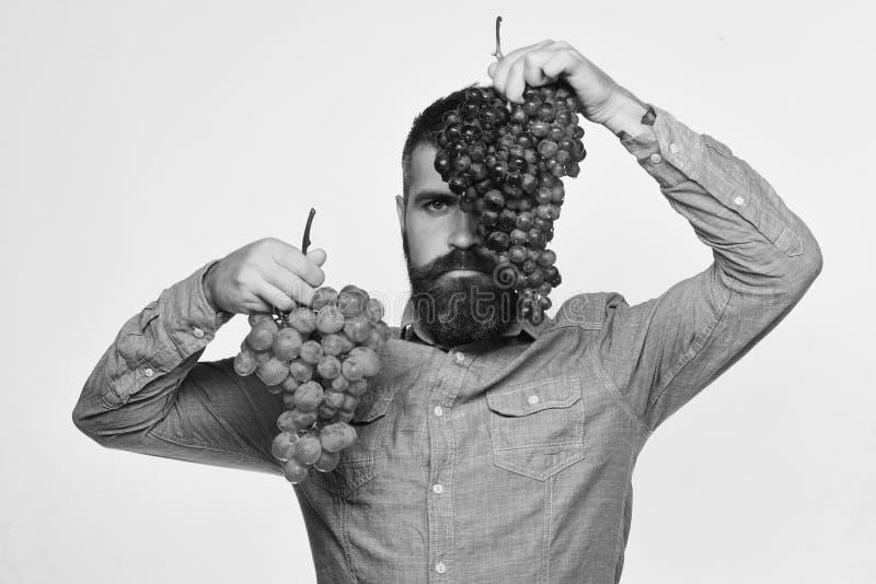 A barba guarda grupos das uvas pretas e verdes isoladas no fundo branco, mostras do fazendeiro seu Winegrower da colheita com fotografia de stock royalty free