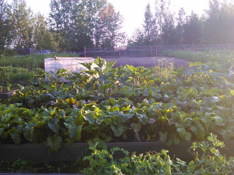 Barbabietola sul giardino, Siberia, cottage di estate ad agosto immagine stock