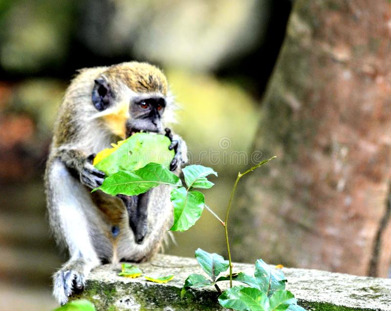 Barbados Green Monkey royalty free stock photography