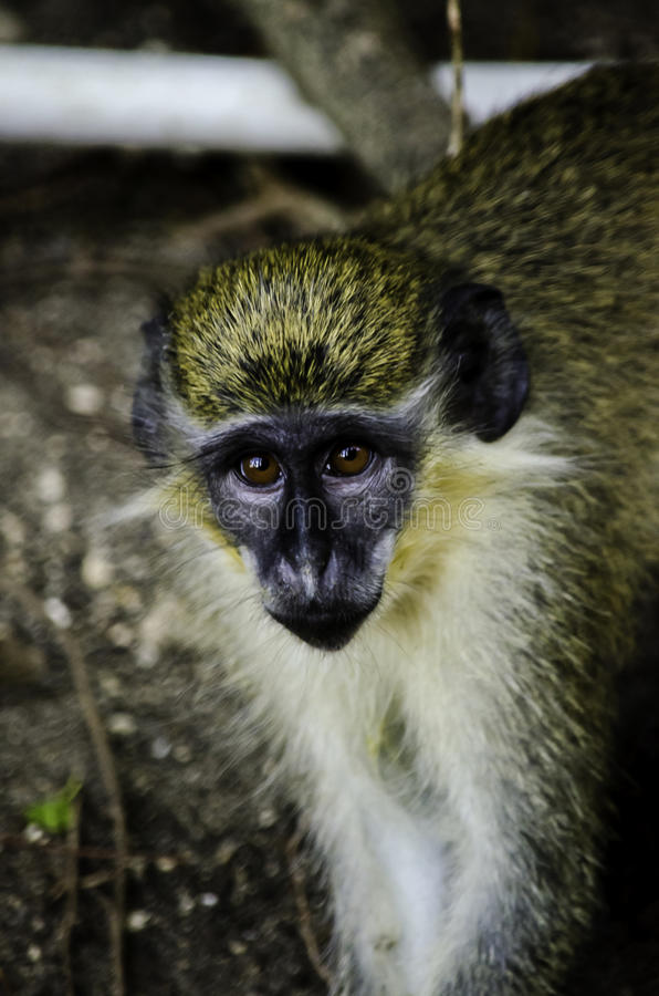 Barbados Green Monkey stock photo