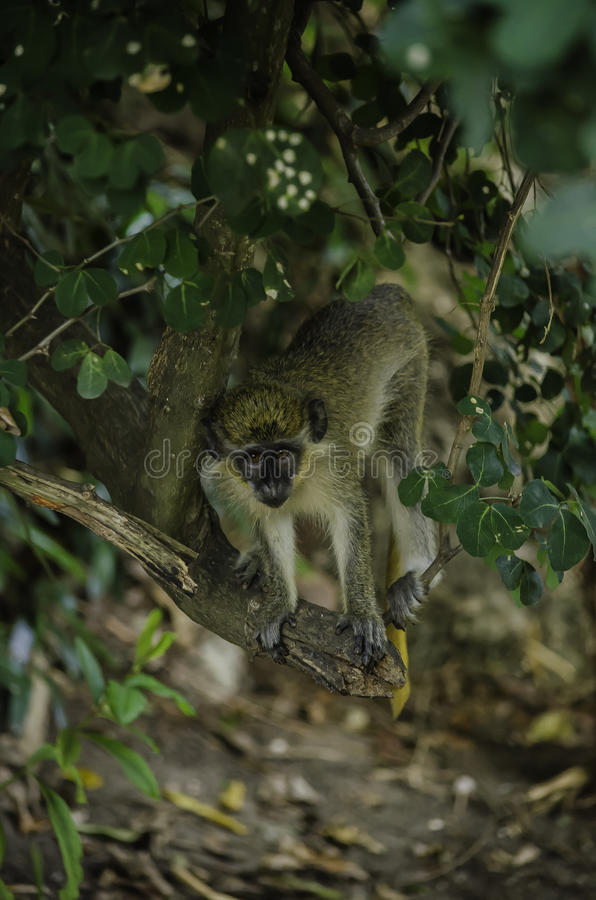 Barbados Green Monkey stock photos